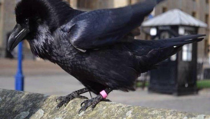 addio-a-merlina,-il-corvo-di-londra.-ma-la-leggenda-della-torre-e-salva
