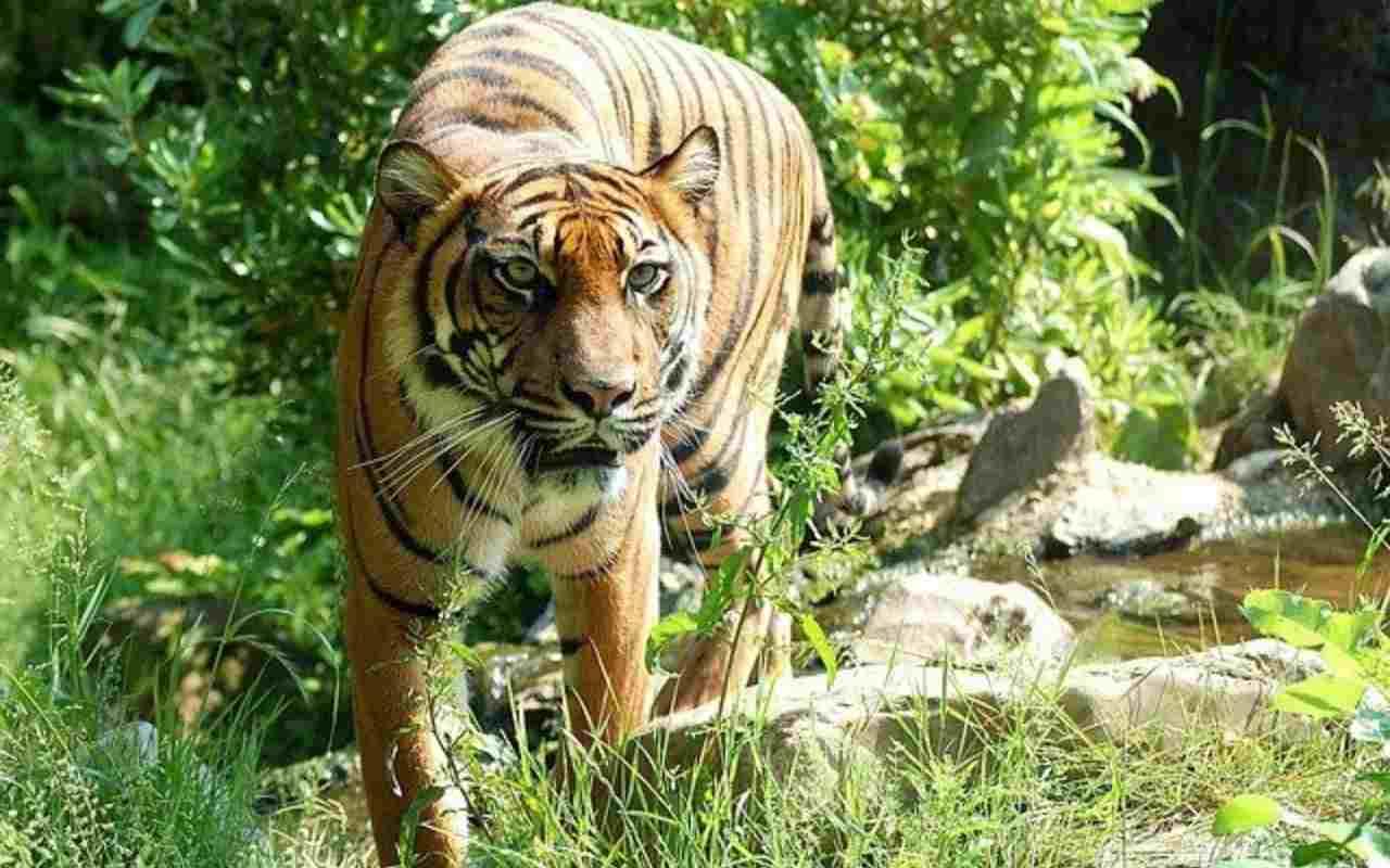 covid:-allo-zoo-di-fort-wayne-negli-usa,-due-tigri-infette