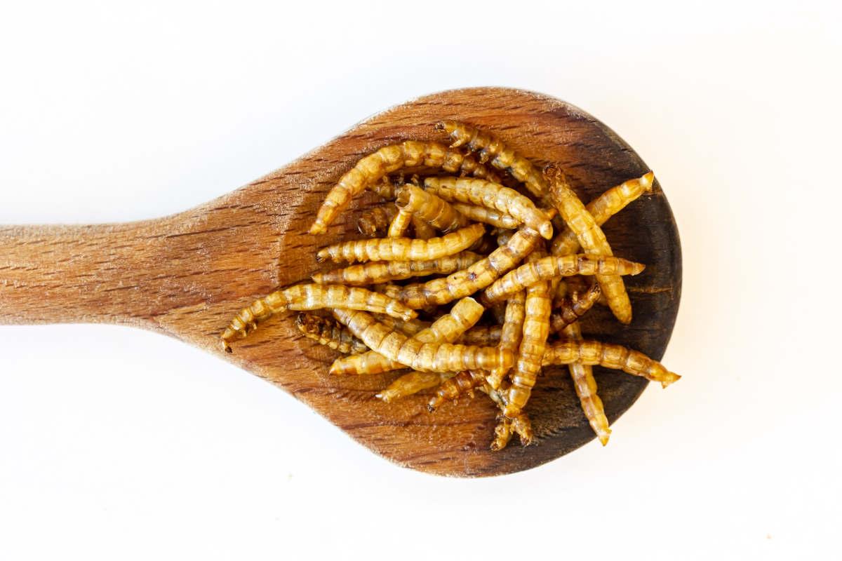 insetti-commestibili:-arriva-il-primo-via-libera-dell'ue-alla-vendita-delle-tarme-della-farina-come-alimento