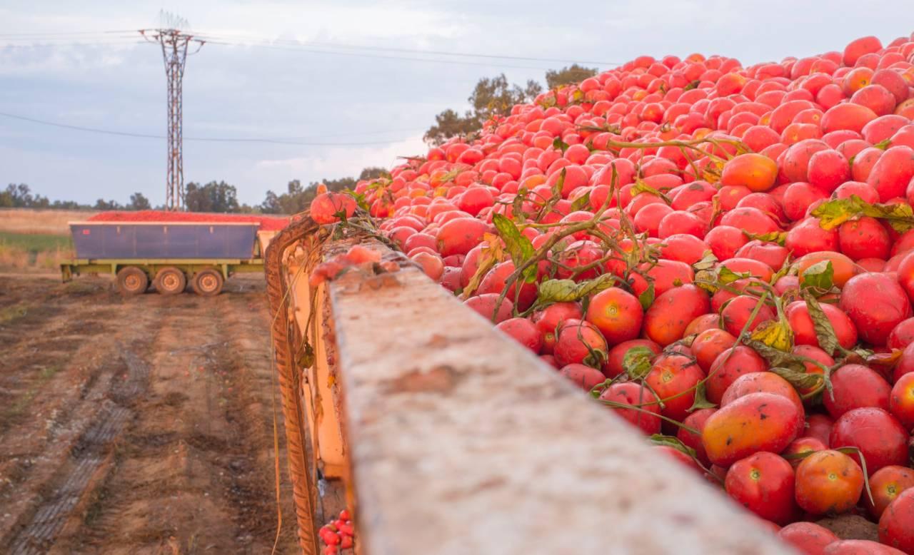 tonnellate-di-pomodori-rischiano-di-marcire-sui-campi-perche-mancano-lattine-e-contenitori,-a-rischio-pelati-e-conserve