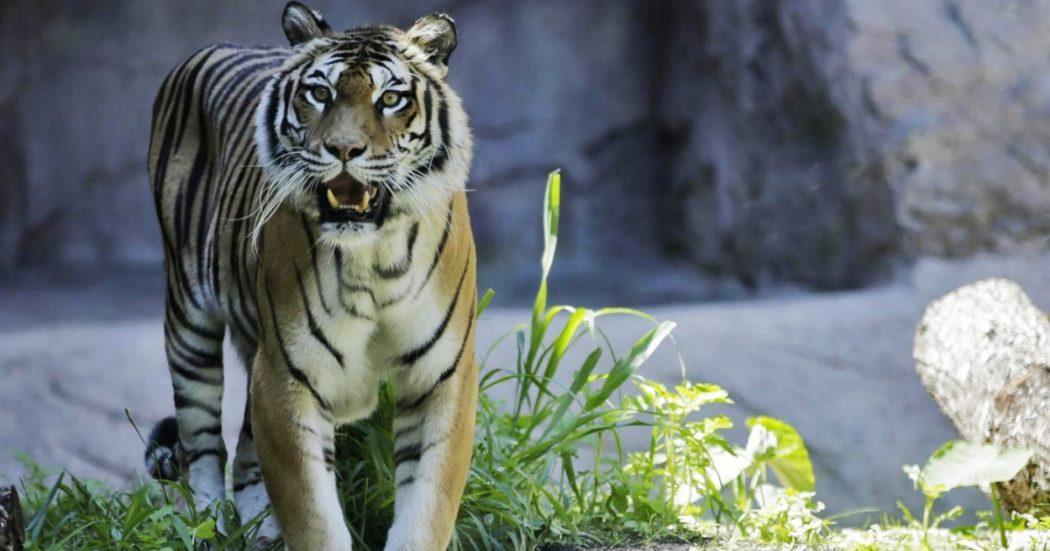 """india,-focolai-covid-negli-zoo:-chiuse-le-riserve-di-tigri.-""""alta-possibilita-di-trasmissione-virus-agli-animali-in-cattivita"""""""