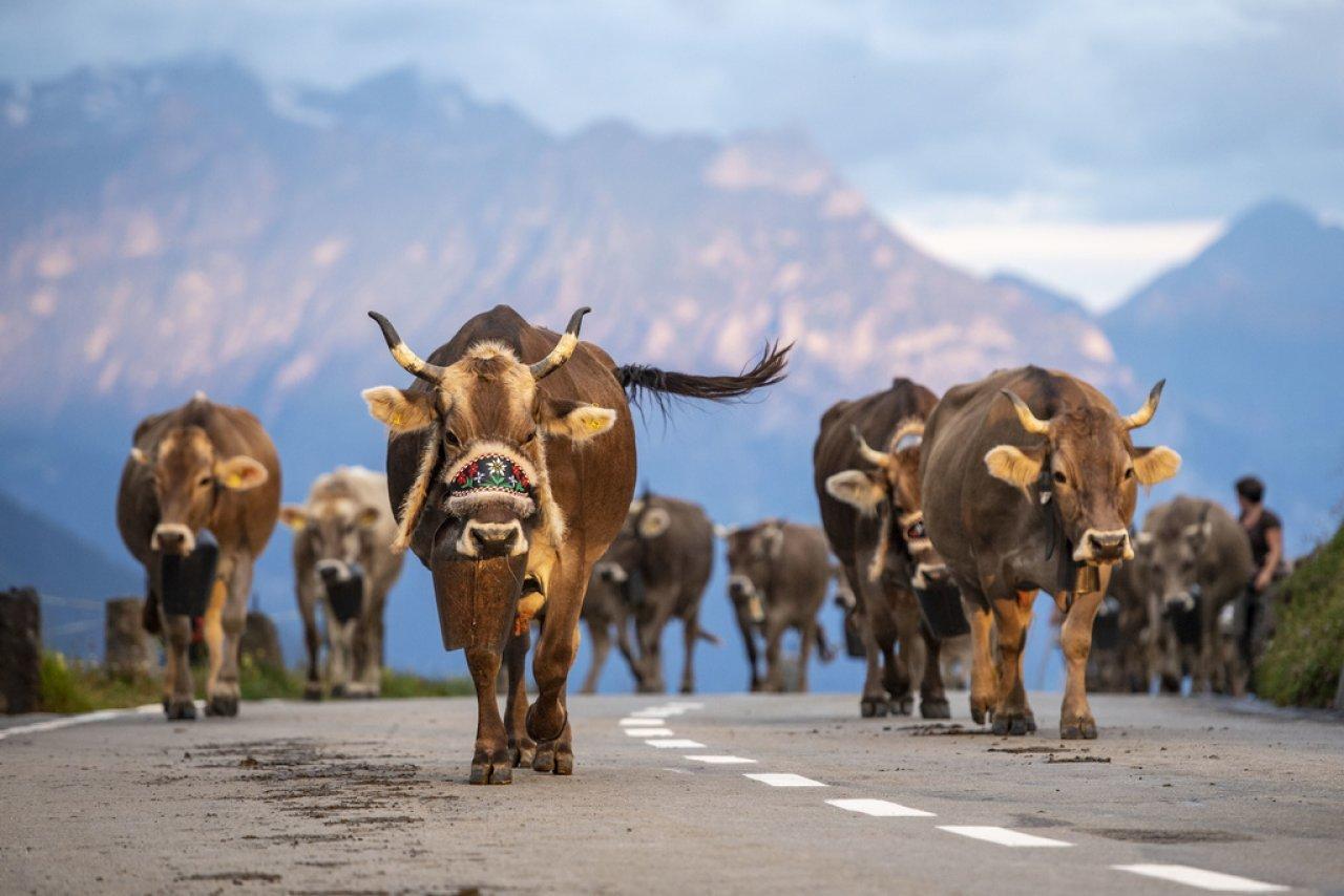 moto-contro-mucca,-61enne-gravissimo