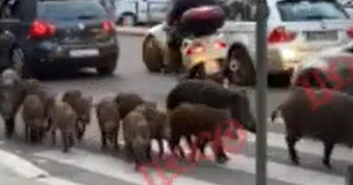 roma,-branco-di-cinghiali-scatenato-in-strada:-passanti-terrorizzati,-il-video-che-sotterra-la-raggi- -guarda